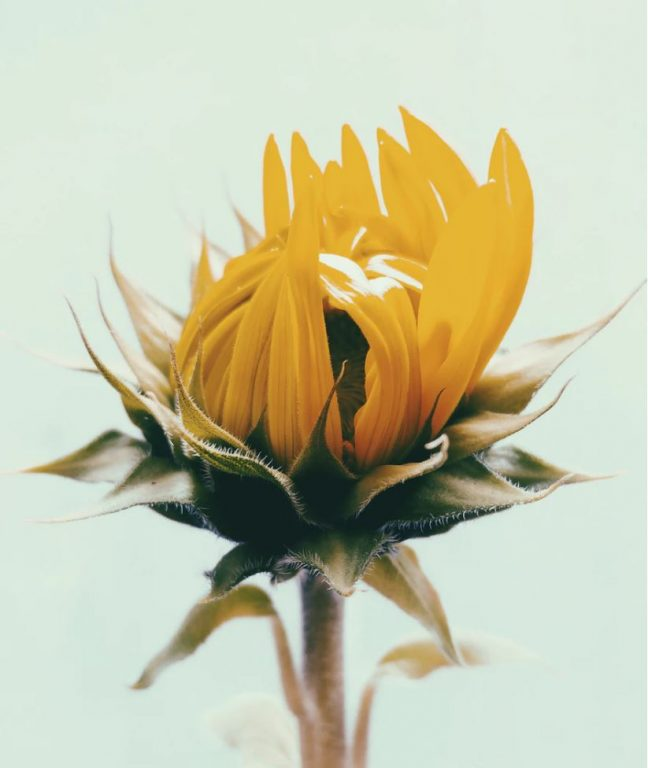 release and rise sunflower